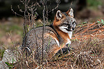 Gray fox curled up on top of den mound looking right.