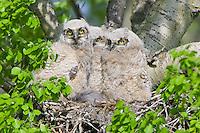 Great Horned Owl triplets