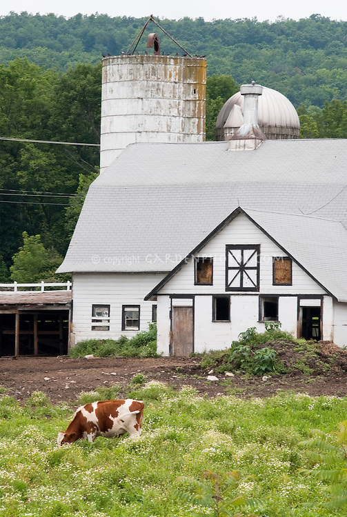 Cow farm animal grazing in pasture, with white barn