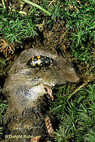 1C22-023z  Burying Beetle - shrew partly buried by beetle, beetle lays eggs on body - Nicrophorus marginatus