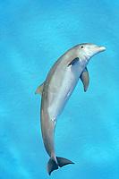 common bbottlenose dolphin, Tursiops truncatus, Bahamas, Atlantic Ocean