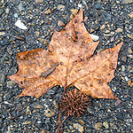 Storm-battered sycamore leaf on the street pavement after a storm during autumn, Peek Hill, Jackson