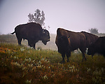 Bison in the Fog. Image taken with a Nikon D300 camera and 18-200 mm VR lens.