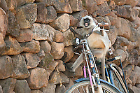 A curious langur monkey expresses his excitement over his newly discovered jungle apparatus left sitting against the park boundary wall that seperates Bandhavgarh National Park from the near by village.  From what I observed, the park worker my find the seat of his bicycle in a little different condition then when he left it.