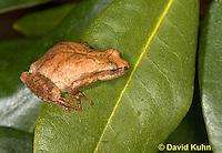 0302-0915  Spring Peeper Frog, Pseudacris crucifer (formerly: Hyla crucifer)  © David Kuhn/Dwight Kuhn Photography