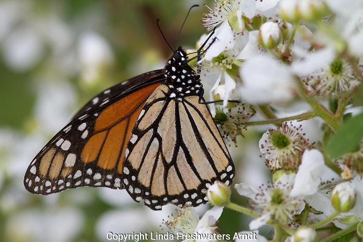 Monarch butterfly on blackberry bush