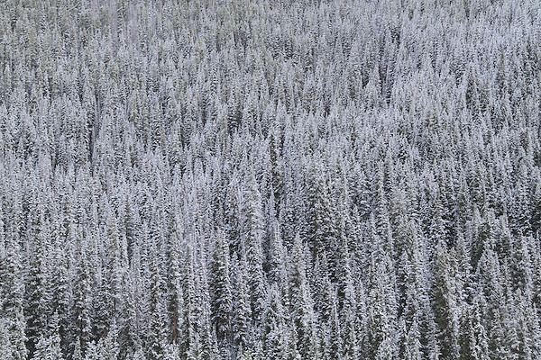 Evergreen trees covered with fresh  snow, Vail Valley, Colorado. .  John offers private photo tours and workshops throughout Colorado. Year-round.