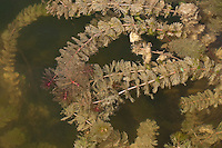 Ähriges Tausendblatt, Ährenblütiges Tausendblatt, Myriophyllum spicatum, Eurasian watermilfoil, Millefolium, Spiked Water Milfoil, untergetaucht lebende Wasserpflanze