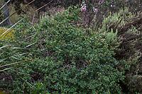 Euphorbia misera, Cliff Spurge, California native shrub flowering in Fullerton Arboretum, Southern California