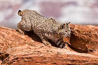 Bobcat walking down a red hill - CA