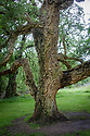 Cork oak (Quercus suber), Arundel Castle Gardens, late June.