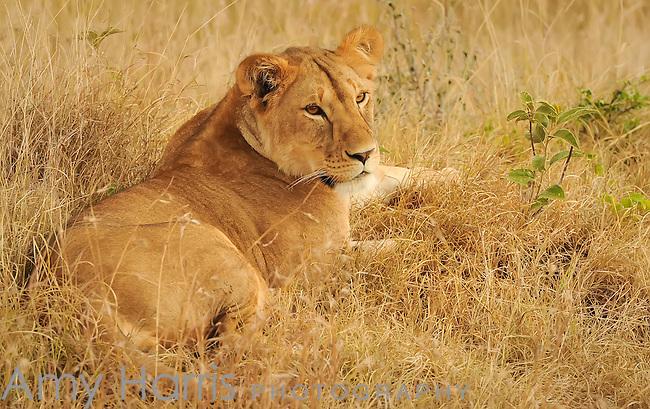 An African Lion (Panthera leo) on the Masai Mara National Reserve safari in southwestern Kenya.