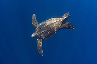 leatherback sea turtle, Dermochelys coriacea, swimming, Kai Kecil, Maluku Islands, Indonesia, Indo-Pacific Ocean