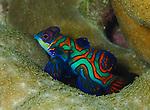 Mandarinfish, Yam, Micronesia 2018