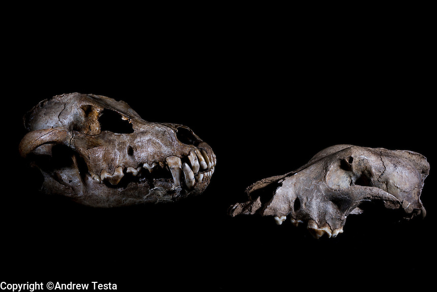 Belgium. Brussels. London. 17th November 2015<br /> Left, a wolf skull circa 25,000 years old. On the right, a dog skull believed to be 36,000 years old at the Royal Belgian Institute of Natural Sciences<br /> <br /> Andrew Testa for the New York Times