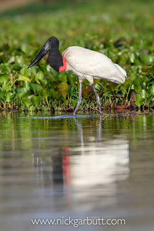 Adult jabiru stork (Jabiru mycteria) hunting in the margins or a lagoon. Western Pantanal, Paraguay River, Mato Grosso, Brazil.