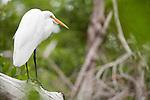 Ding Darling National Wildlife Refuge, Sanibel Island, Florida; a Great egret (Ardea alba) bird standing on a fallen log across the mangrove swamp © Matthew Meier Photography, matthewmeierphoto.com All Rights Reserved