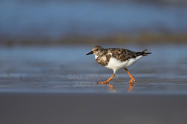 Ruddy Turnstone (Arenaria interpres), adult running, South Padre Island, Texas, USA