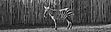 06/11/16<br /> <br /> A zebra shows off its mastery of the art of camouflage at Peak Wildlife Park in the Staffordshire Moorlands near Leek. <br /> <br /> <br /> All Rights Reserved F Stop Press Ltd. (0)1773 550665   www.fstoppress.com