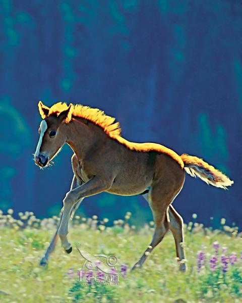 Wild horse colt running