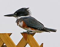 Belted kingfisher female on fence