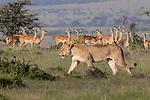 Kenya, Olare Motorogi Conservancy, African lion (Panthera leo) and impala (Aepyceros melampus)