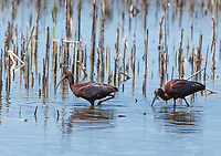 Two White-faced Ibis, Plegadis chihi, feeding in shallow water at Tule Lake National Wildlife Refuge, Oregon