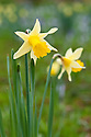Daffodil (Narcissus pseudonarcissus), mid March. Also known as the Lent lily.