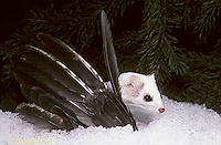 MA04-018x  Short-Tailed Weasel - ermine with bird prey in winter - Mustela erminea