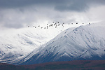 Sandhill cranes fly in formation backropped by snow-covered mountains in Denali National Park, Alaska.