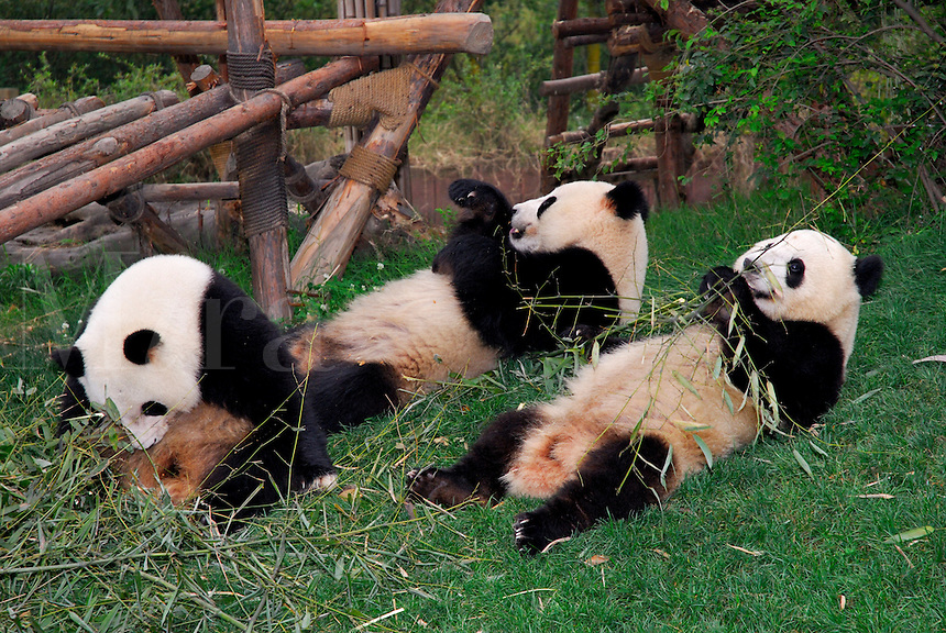 A group of Giant Pandas feeding on bamboo at Chengdu Research Base of Giant Panda Breeding, Sichuan, China.