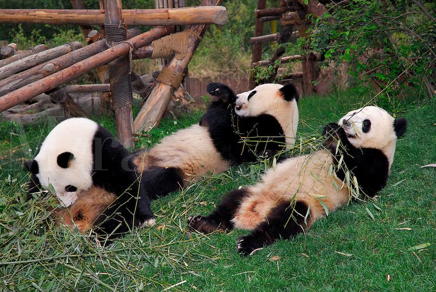 A group of Giant Pandas feeding on bamboo at Chengdu Research Base of Giant Panda Breeding, Sichuan, China.