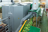 Automated line bunching tulips - Lincolnshire, February