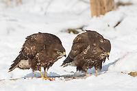 Mäusebussard, im Schnee, Winter, am Luder, Fütterung mit Schlachtabfällen, Mäuse-Bussard, Bussard, Buteo buteo, common buzzard, buzzard, snow, La Buse variable