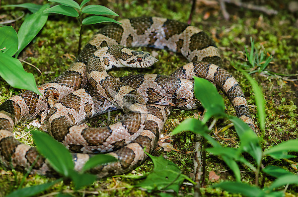 Eastern Milk Snake (Lampropeltis triangulum triangulum) after shedding scales with bit of old skin still on head, spring, Niagara Region, Ontario, Canada.