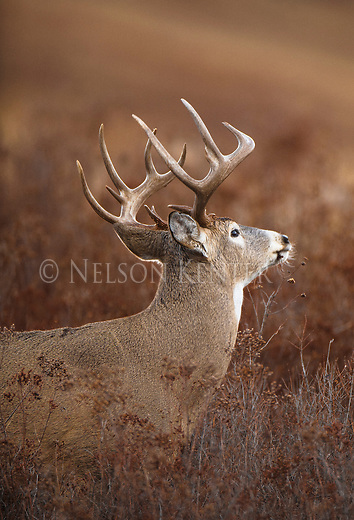 A whitetail buck in a beautiful pose. Standing in a brushy field in Montana