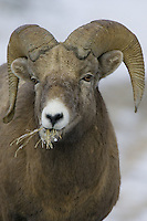 Male Bighorn Sheep eating some dried grass during the winter