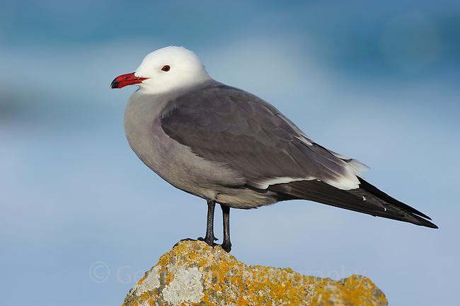 Heerman's Gull (Larus heermanni) in breeding plumage. Monterey County, California. December.