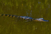 A young alligator swims in shallow water, Merritt Island, FL, March 2020.(Photo by Brian Cleary/bcpix.com)