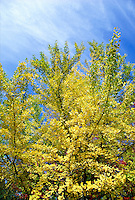 Ginkgo Tree Ginkgo biloba, blazing yellow autumn color, blue sky #5707. Virginia.