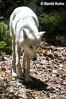 0823-1014  Gray Wolf (Grey Wolf) with White Colored Coat, Canis lupus  © David Kuhn/Dwight Kuhn Photography