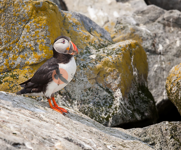 Atlantic Puffin standing on rocks with dirt and mud from it's burrow on it's beak