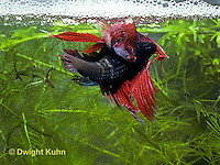 BY05-117z  Siamese Fighting Fish - male mating with egg laden female - Betta splendens