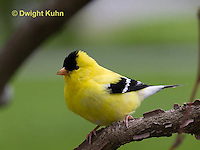 SW05-503z  American Goldfinch male, Carduelis tristis