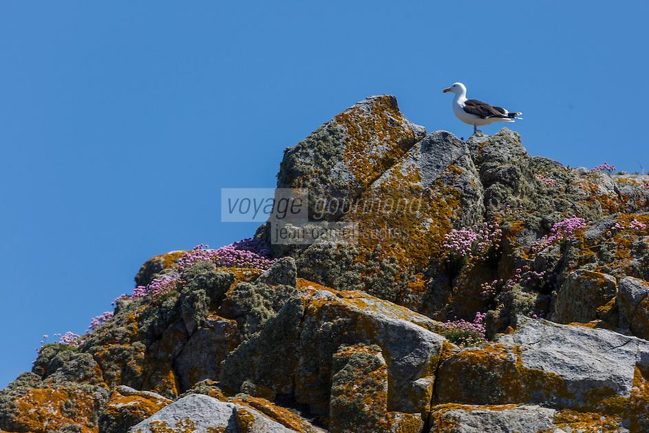 Royaume-Uni, îles Anglo-Normandes, île de Sark (Sercq) : Goeland  argenté // United Kingdom, Channel Islands, Sark Island (Sercq): European Herring Gull