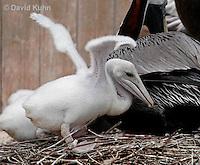 0306-0810  Young Brown Pelican Fledgling, Pelecanus occidentalis © David Kuhn/Dwight Kuhn Photography.