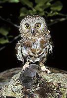 OW04-004f  Saw-whet owl - with shrew prey - Aegolius acadicus