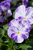 Viola Columbine, blue purple and white mottled pansy