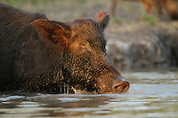 Feral Pig (Sus scrofa), boar drinking from pond, Fennessey Ranch, Refugio, Corpus Christi, Coastal Bend, Texas Coast, USA