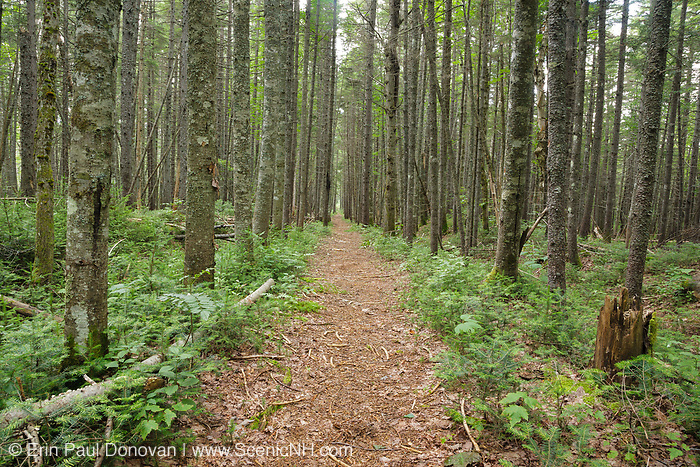 Softwood forest along Nancy Pond Trail in the Pemigewasset Wilderness of New Hampshire. This trail follows the old East Branch & Lincoln Railroad (1893-1948) bed.